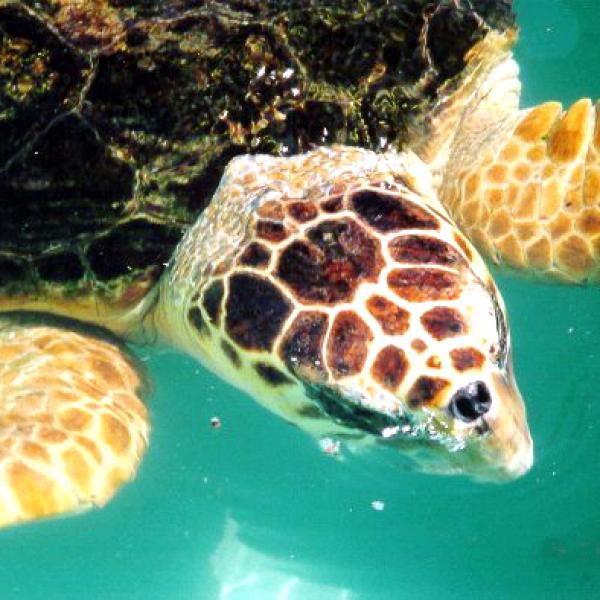Réintroduction de tortues marine