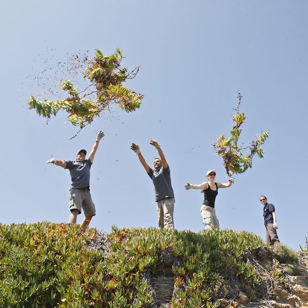 Des bénévoles arrachent des griffes de sorcières sur l'île du Grand Rouveau, dans le Var.