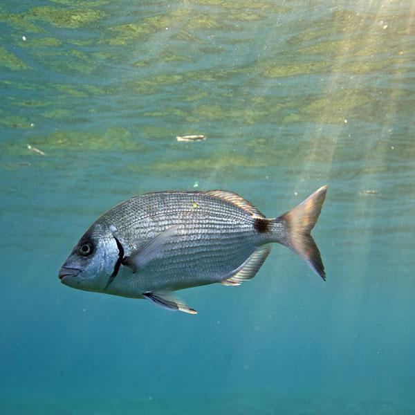 Les poissons du sentier sous-marin de l'île de Port-Cros, une zone protégée de la pêche.
